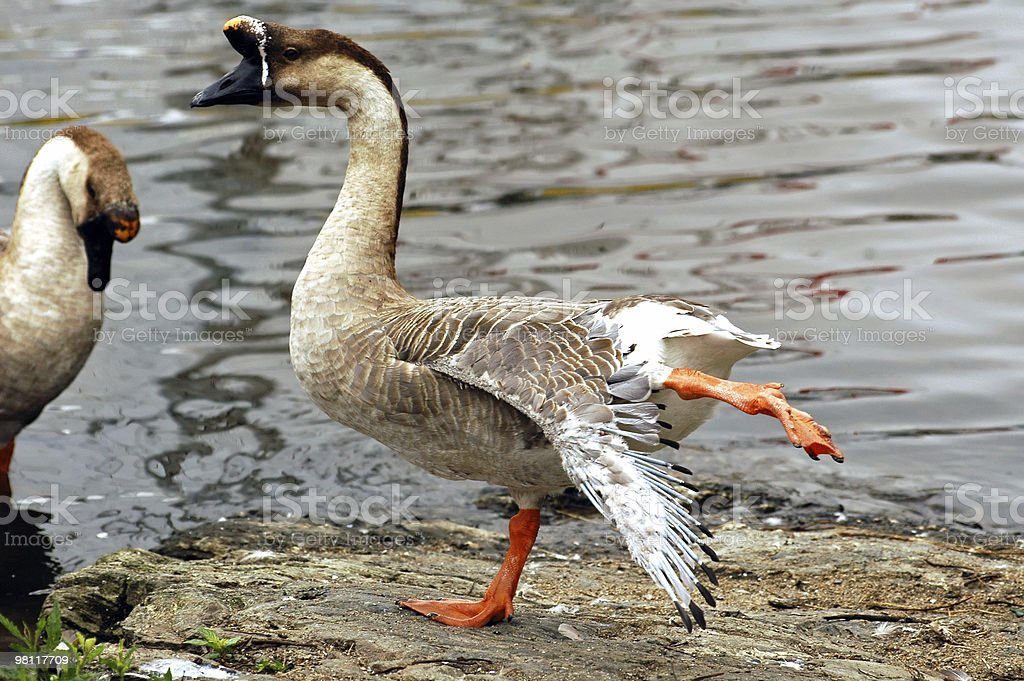 Dancing duck a Morlaix, in Brittany royalty-free stock photo