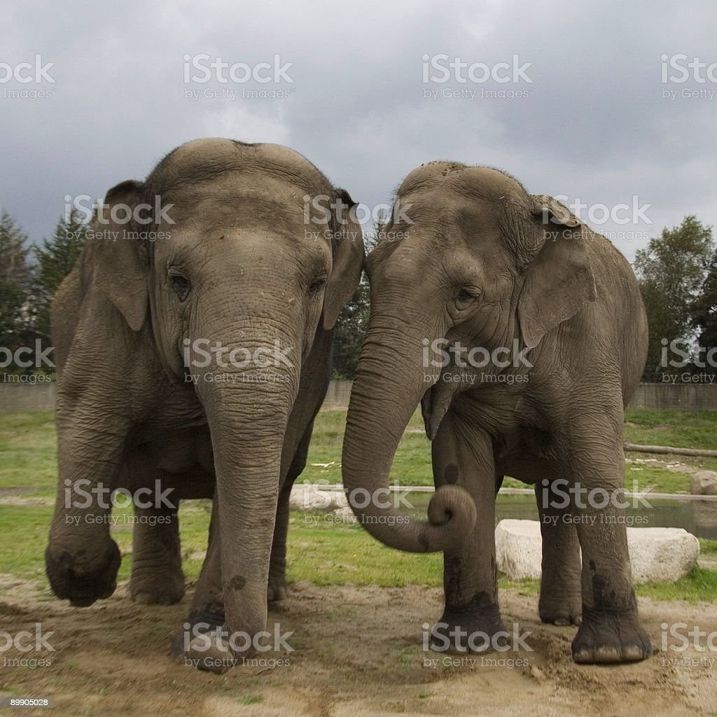 Dancing elephants royalty-free stock photo