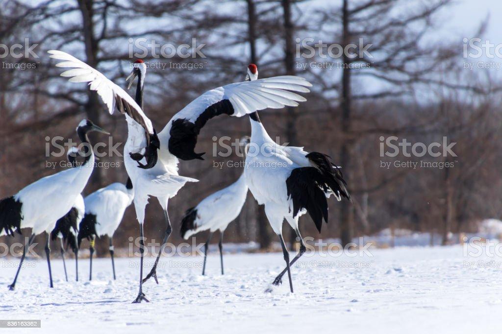 Dancing Japanese Cranes, Hokkaido, Japan stock photo