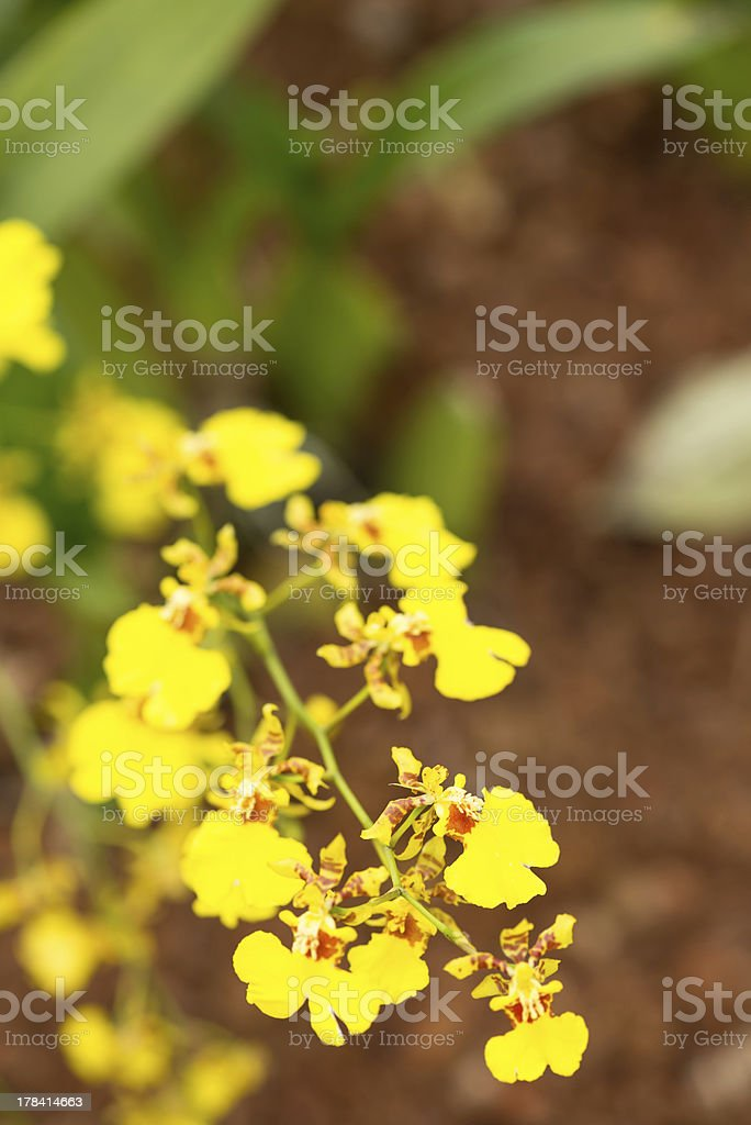 Dancing lady orchid close up stock photo