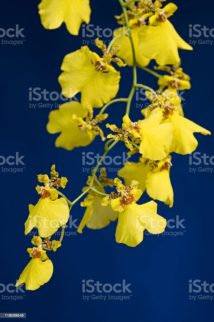 Dancing lady orchid stock photo