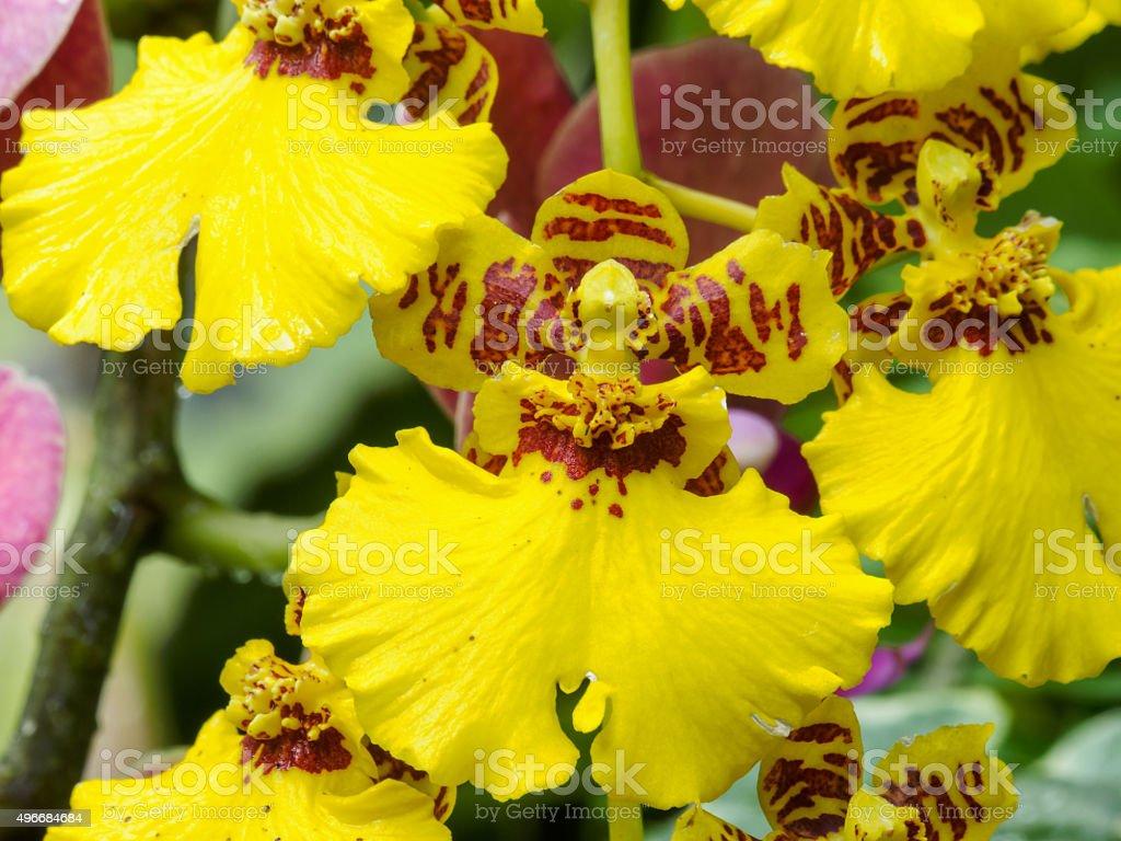 Dancing Lady orchid (Oncidium Varicosum, Oncidium Goldiana) stock photo