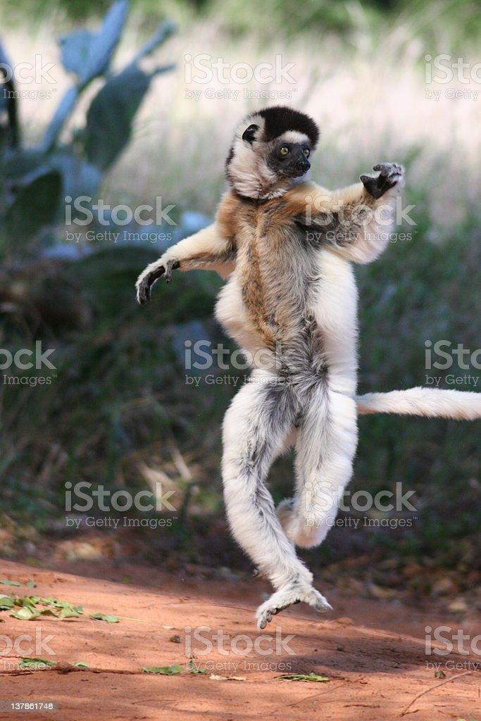 dancing lemur stock photo