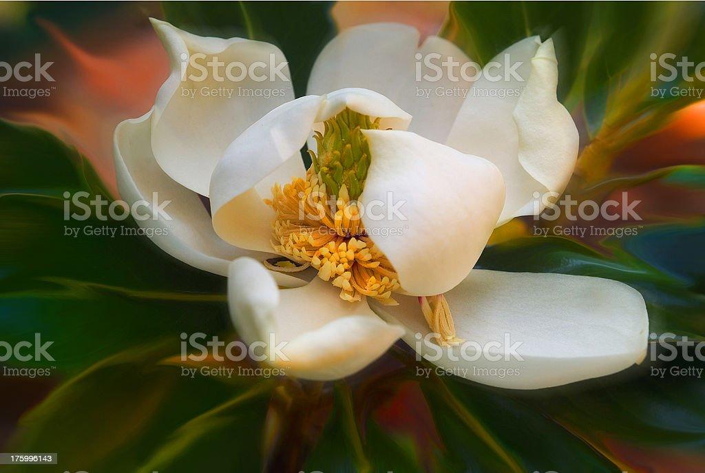 Dancing magnolia stock photo