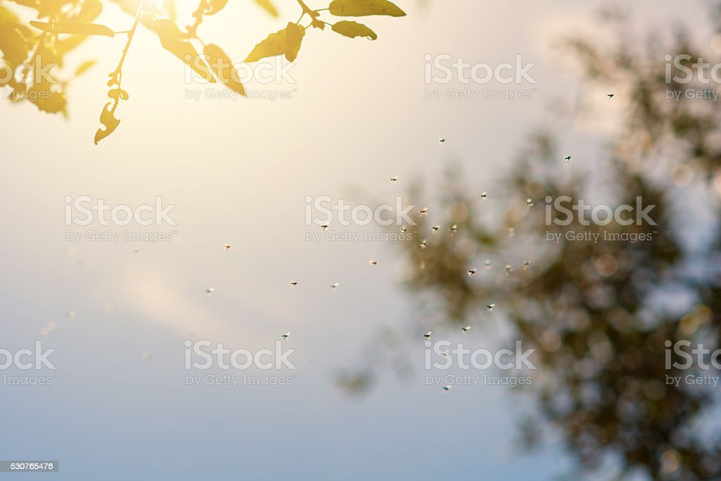 dancing male mosquitos in the sunlight under trees stock photo