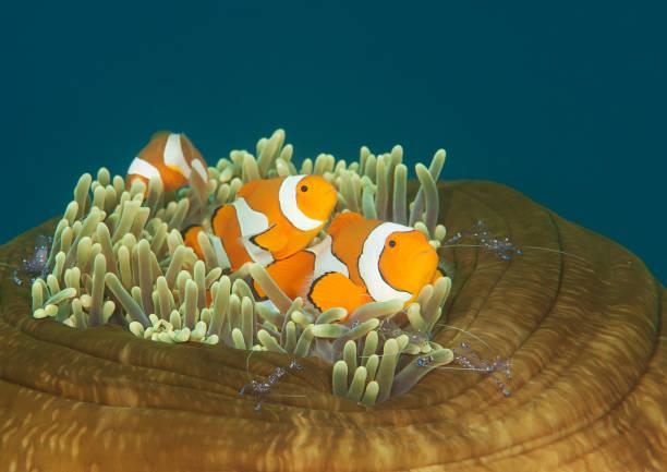 Dancing ocellaris clownfish und tosa commensal Garnelen auf anemone Tentakel – Foto