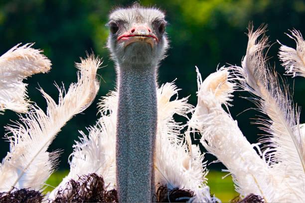 dancing ostrich mating dance closeup stock photo