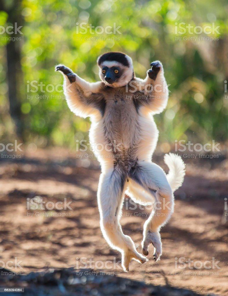 Dancing Sifaka is jumping. foto de stock royalty-free
