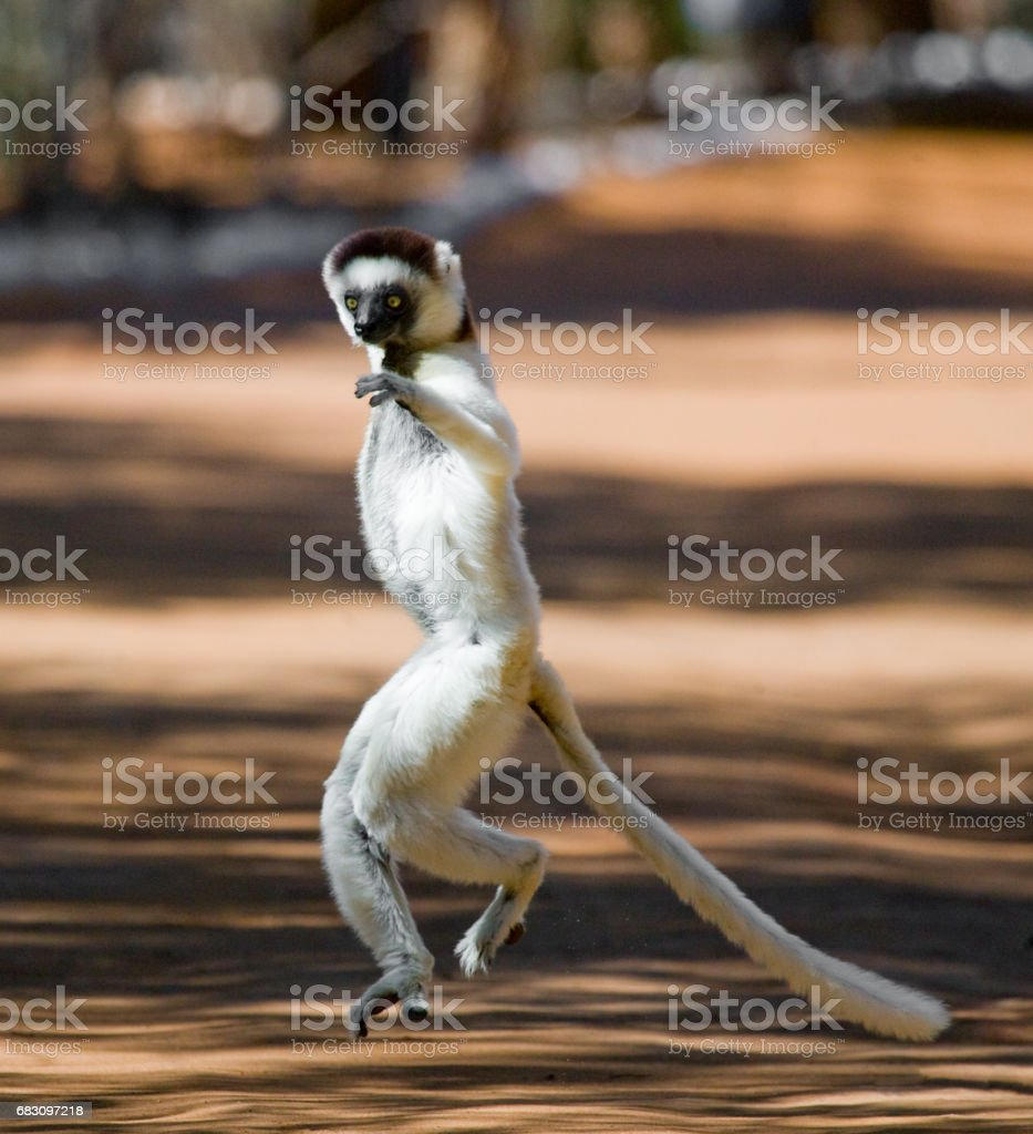 Dancing Sifaka is on the ground. foto de stock royalty-free