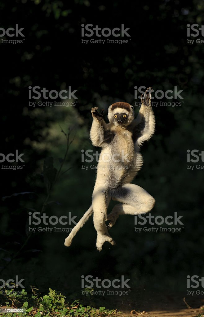 Dancing sifaka leaps in the air towards camera stock photo