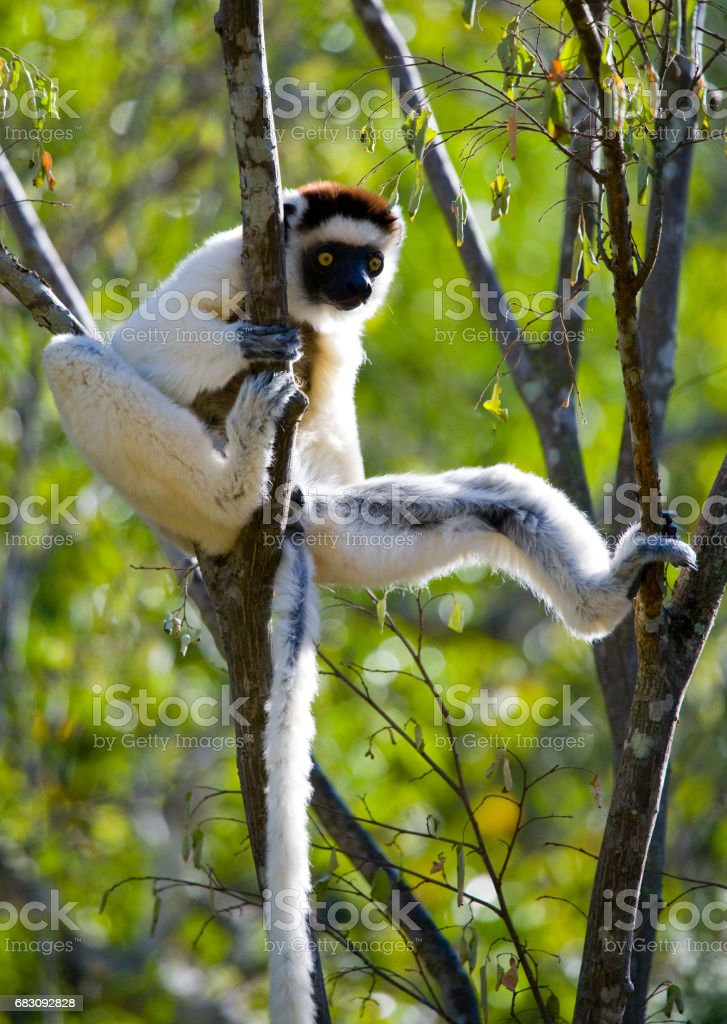 Dancing Sifaka sitting on a tree. foto de stock royalty-free