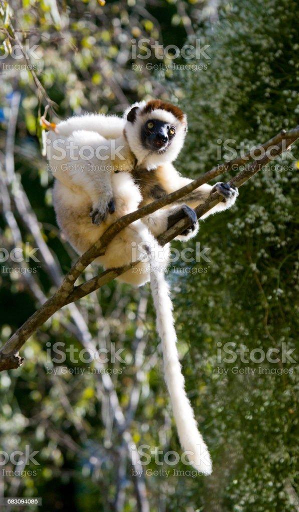 Dancing Sifaka sitting on a tree. foto de stock royalty-free