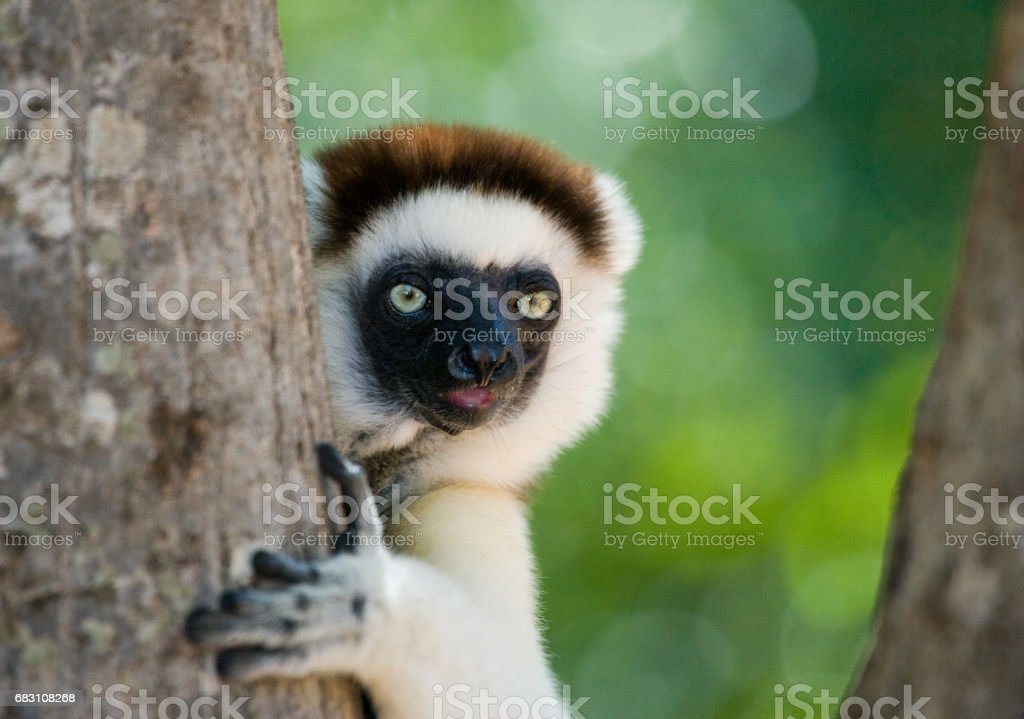 Dancing Sifaka sitting on a tree. royalty-free stock photo