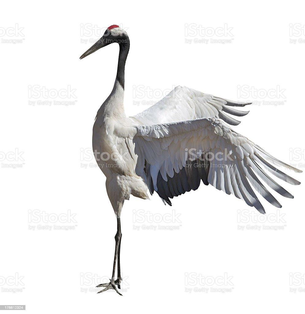 dancing single japanese crane on white stock photo