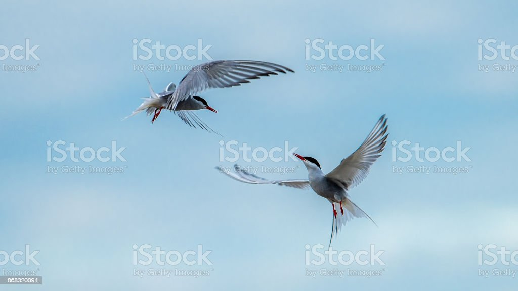 Dancing Terns stock photo