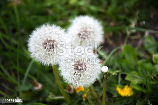 Taraxacum officinale, the common dandelion, is a flowering herbaceous perennial plant of the family Asteraceae (Compositae) is considered a weed, especially in lawns and along roadsides, but it is sometimes used as a medical herb and in food preparation.