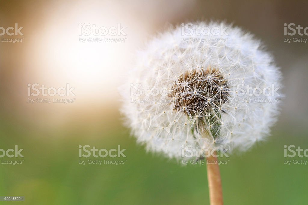 Dandelion against the green grass and sun. stock photo