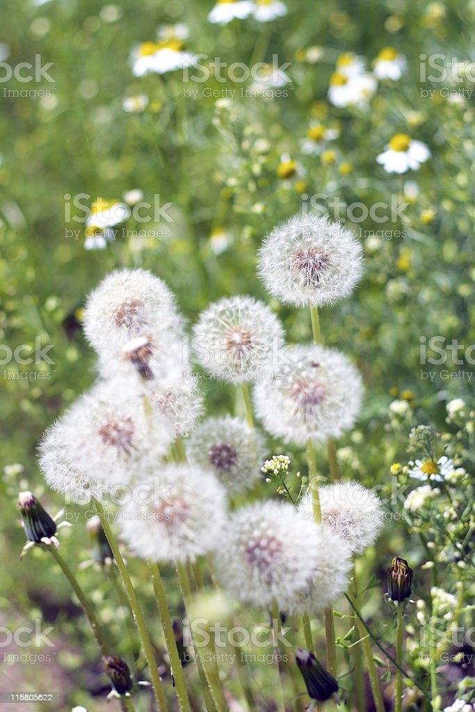 dandelion and daisywheel royalty-free stock photo