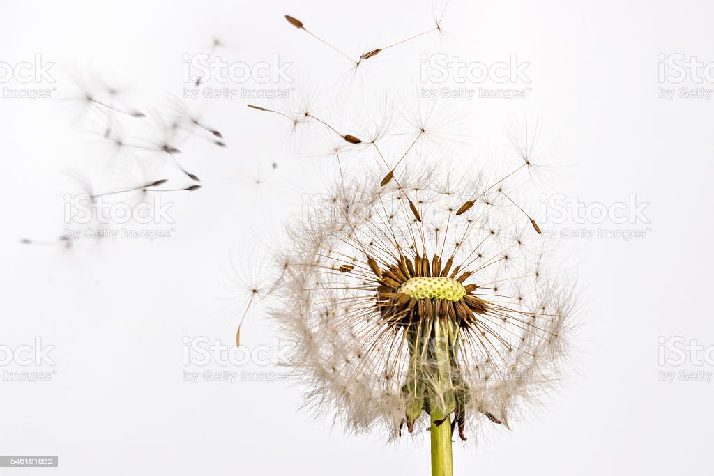 Dandelion and dandelion seeds stock photo