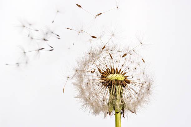 dandelion and dandelion seeds - pyłek zdjęcia i obrazy z banku zdjęć