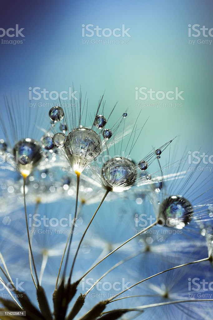 Dandelion and Dew - Blue Nature Macro stock photo