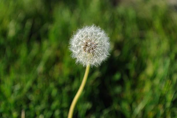 Dandelion and grass stock photo