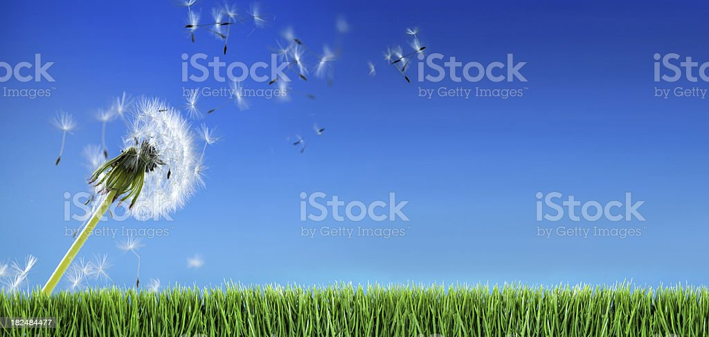 Dandelion and grass stock photo