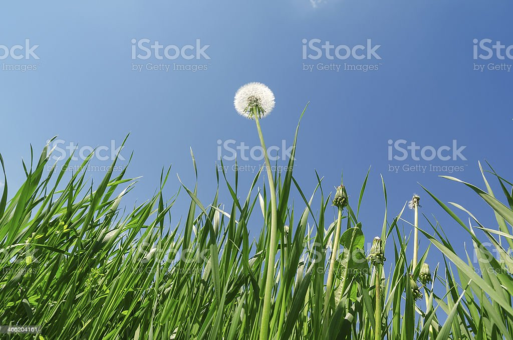 dandelion and green grass under blue sky royalty-free stock photo