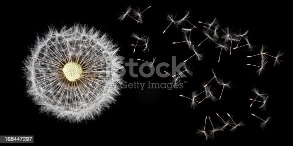 dandelion macro shot and seeds