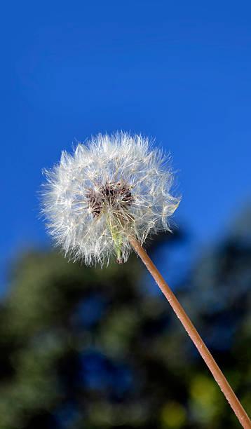 Dandelion and sky stock photo