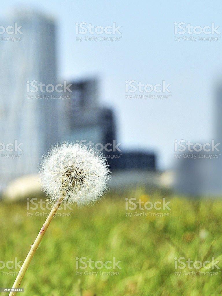 dandelion and urban background stock photo