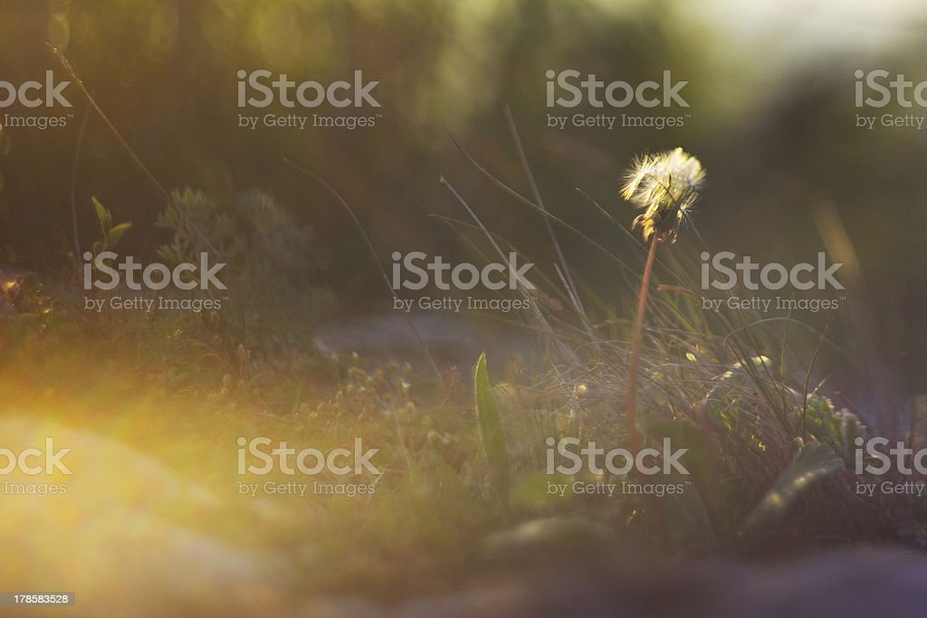 Dandelion At Sunset In A Golden Light Stock Photo - Download