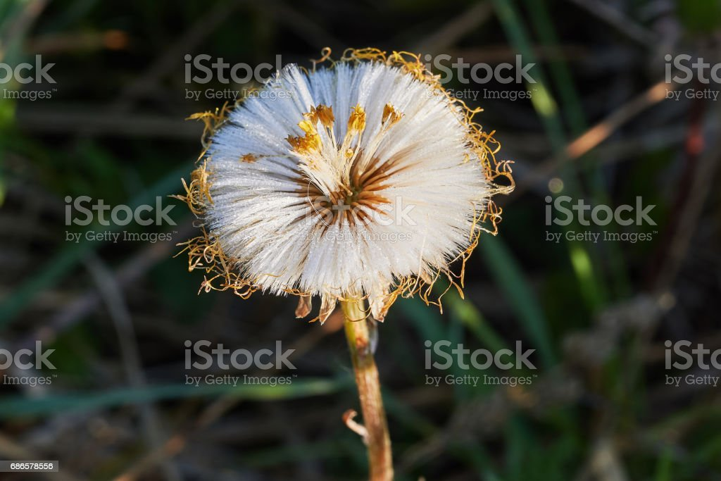 Dandelion background foto stock royalty-free