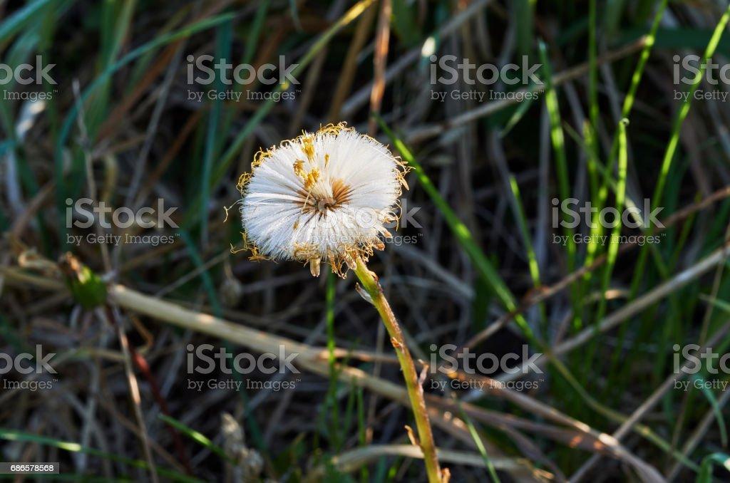 Dandelion background royalty-free stock photo
