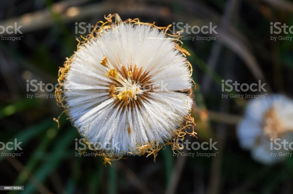 Dandelion background foto stock royalty-free