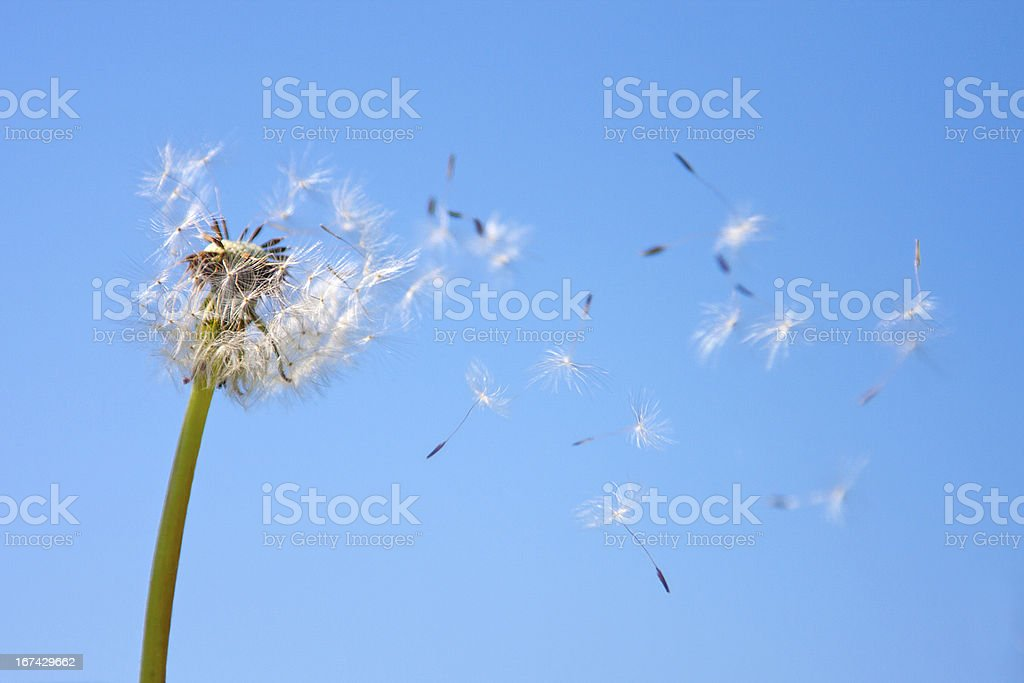 Dandelion being blown in the wind against blue sky stock photo
