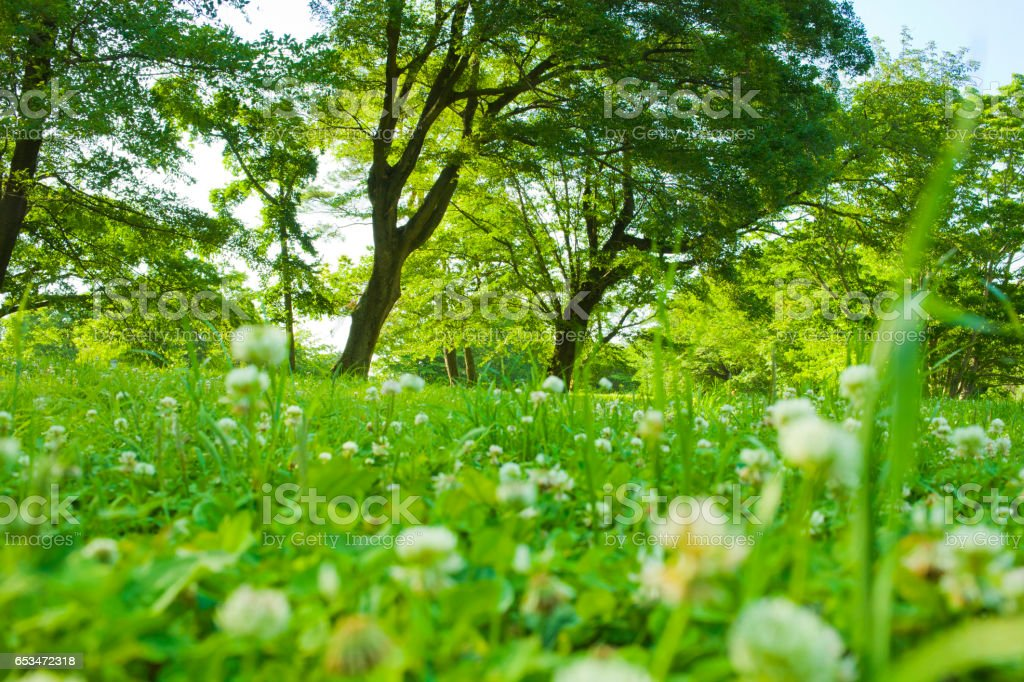 Dandelion blooming in the forest - Photo
