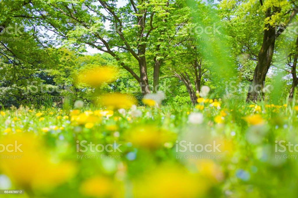 Pissenlit qui fleurit dans la forêt - Photo