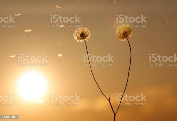 Mniszek Lekarski Kwitnący W Zachodzie Słońca - zdjęcia stockowe i więcej obrazów Bez ludzi