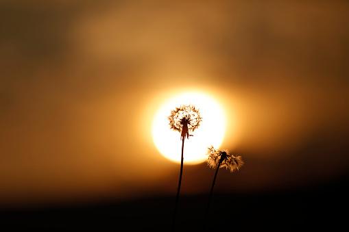 일몰에 민들레 Blossomming 0명에 대한 스톡 사진 및 기타 이미지