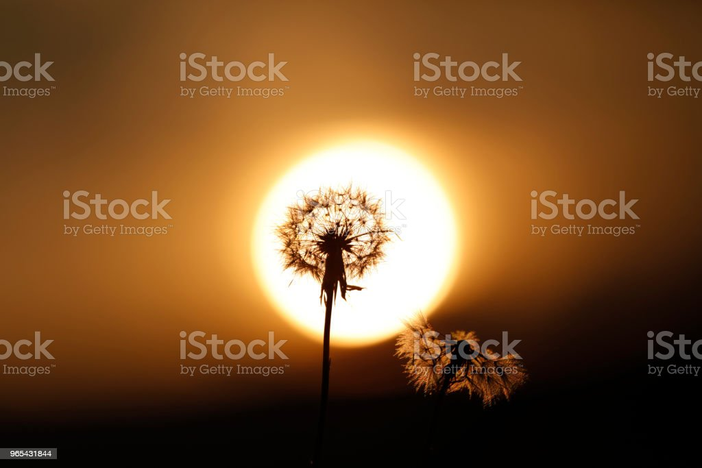 Dandelion blossomming in sunset royalty-free stock photo