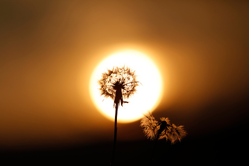 Dandelion Blossomming In Sunset Stock Photo & More Pictures of Agricultural Field