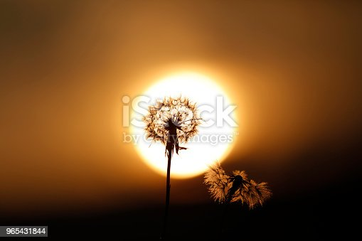 Dandelion Blossomming In Sunset Stock Photo & More Pictures of Beauty
