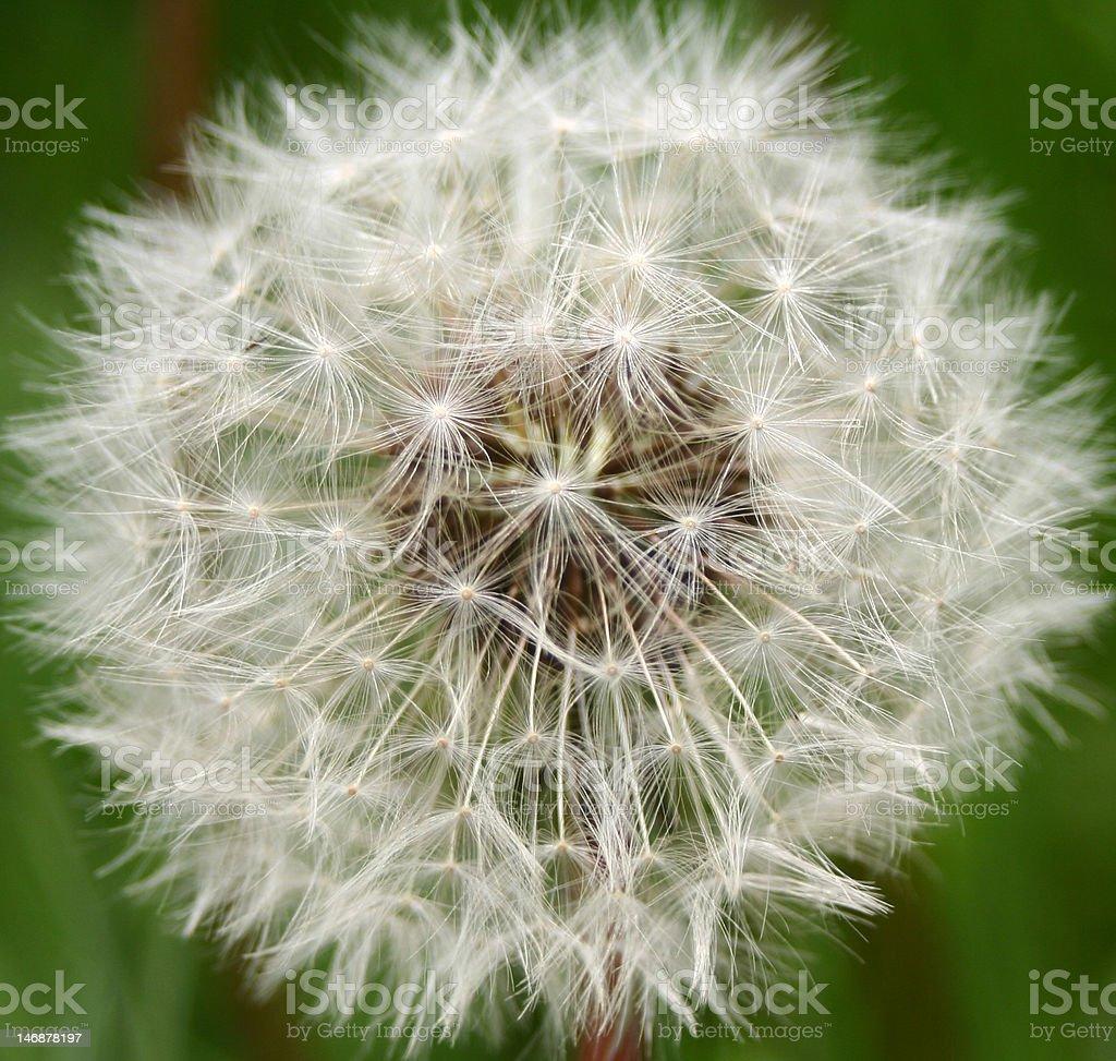 dandelion blow ball royalty-free stock photo
