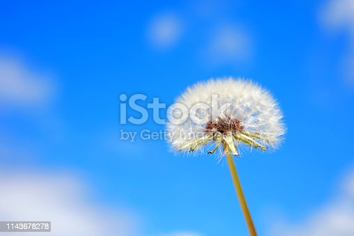 Close-up of a dandelion blowball (Taraxacum Officinale) on blue sky background.
