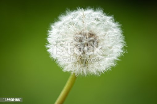 dandelion blowball  on blurred background