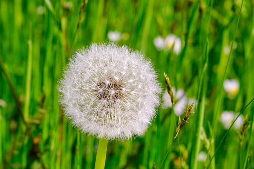 Withered dandelion, blowball ind summer