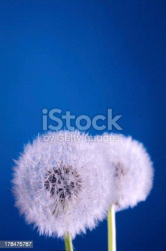 dandelion blowballs on blue background