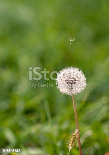 Dandelion Blowballs In The Field