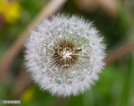 A macro shot of a dandelion after it has lost some sprigs from the wind.